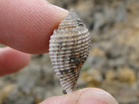 Fossil Volutocorbis gastropod at Barton on Sea