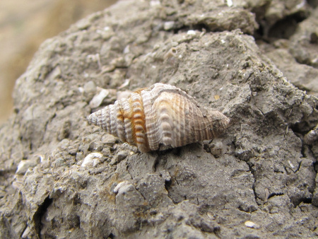 Fossil Bathytoma gastropod at Barton on Sea