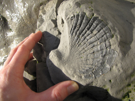 Fossil Pecten bivalve at Beachy Head