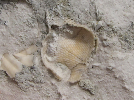 Fossil bryozoan at Beachy Head