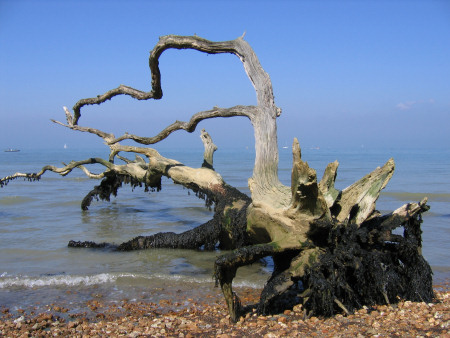 Collapsed tree caused by erosion at Bouldnor