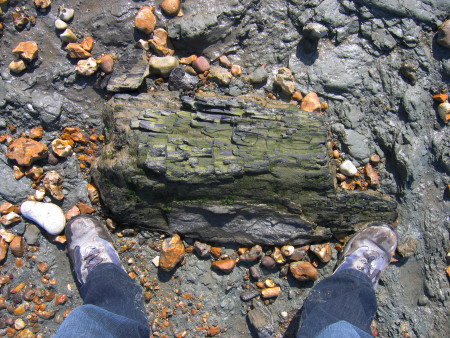 Fossilised wood at Bouldnor