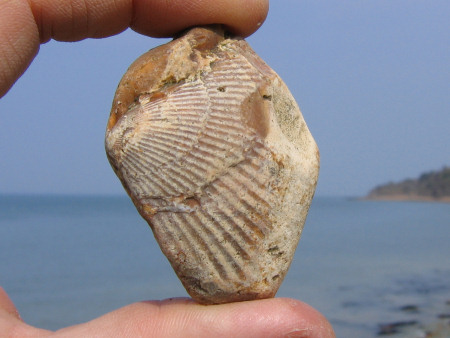 Fossil bivalve visible at the surface of a flint pebble