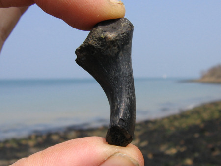 Fossil bone thought to be turtle at Bouldnor