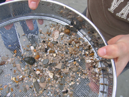 Mix of modern and fossil material in a sieve at Bracklesham Bay