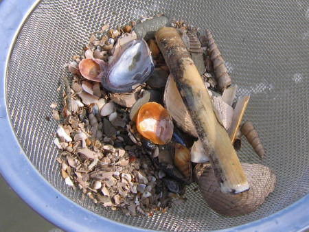 Sieve of fossils and shells at Bracklesham Bay