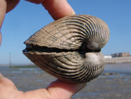 Fossil Venericor bivalve at Bracklesham Bay