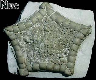 Fossil starfish Metopaster parkinsoni