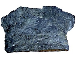 Fossil ferns within a sheet of coal