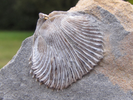 Fossil brachiopod from Woodeaton quarry in its recommended natural state