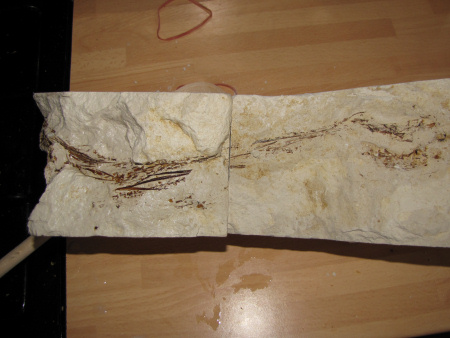 Leptotrachelus chalk fossil fish damaged during extraction