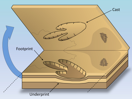 Illustration of a dinosaur footprint and cast