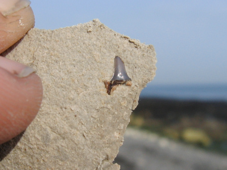 Fossil Lamniform shark tooth at Dover