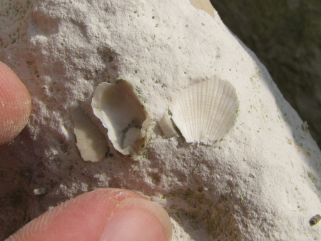 Fossil Gryphaeostrea oyster and Spondylus bivalve at Dover