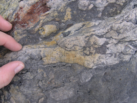 Fossil plant stem at East Wemyss
