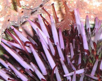 Close-up of echinoid with light-purple spines