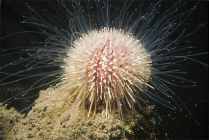 Living regular echinoid with tube feet extended