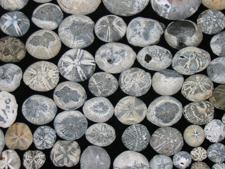Collection of flint fossil echinoids
