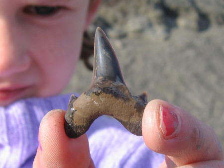 Fossil Dwardius shark tooth from the Gault clay at Folkestone