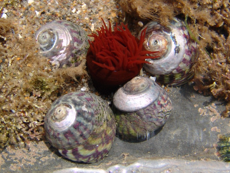 Winkles and a sea anemone