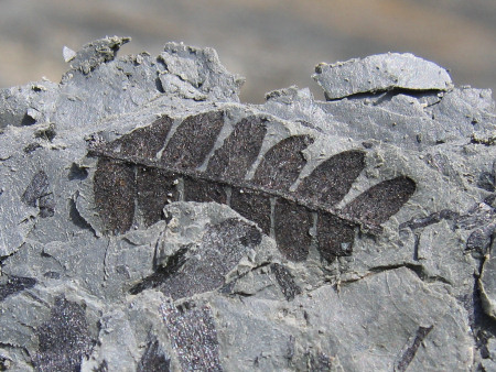 Fossil fern at Smokejacks