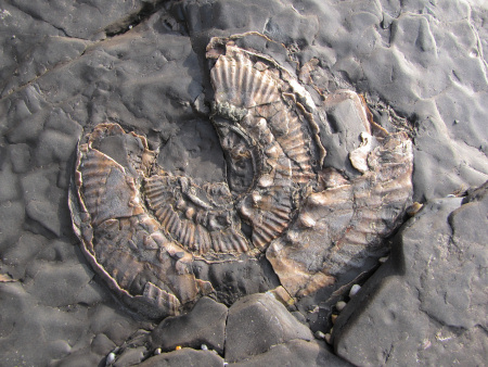 British fossil Aulacostephanus autissiodorensis ammonite from Kimmeridge