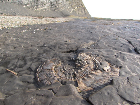 Fossil Aulacostephanus autissiodorensis ammonite at Kimmeridge