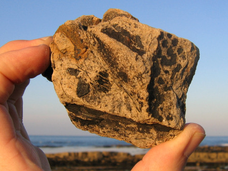 Concentration of fossil plant remains in a slit pebble at Kingsbarns