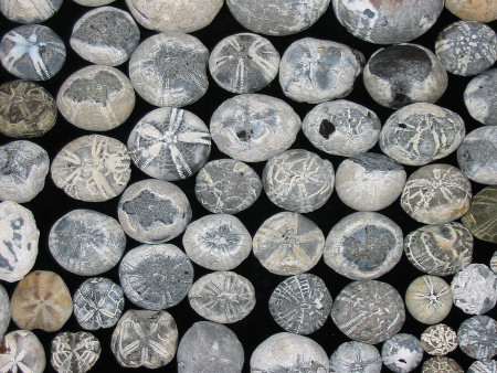Collection of flint Echinocorys Micraster and Conulus echinoid from the chalk of Sussex