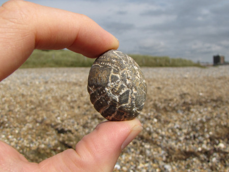 Small fossil Echinocorys echinoid at Littlehampton