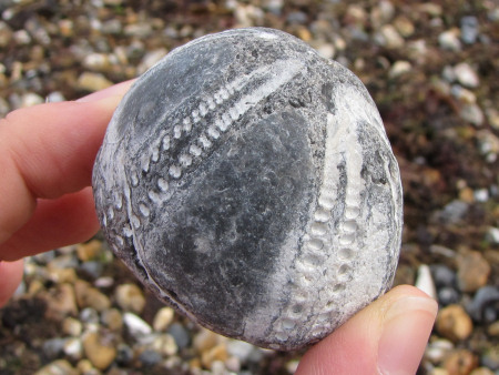 Fossil Echinocorys echinoid preserved as an internal flint mould at Littlehampton