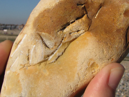 Fossil inoceramid bivalve shell fragments at Littlehampton