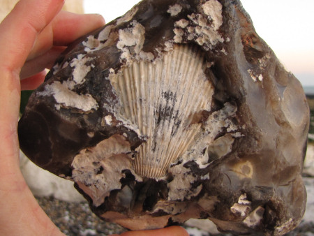 Fossil Spondylus bivalve within a flint nodule at Seaford Head