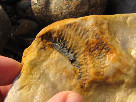 Fossil sponge retained on the surface of a flint pebble at Seaford Head