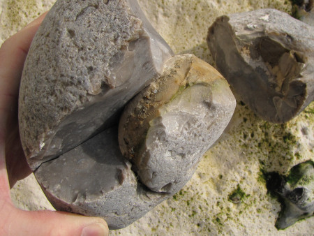 Split flint nodule containing an Echinocorys echinoid at Seaford Head
