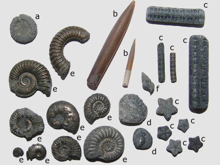 A collection of fossils from Seatown including ammonites, belemnites, crinoids and an echinoid