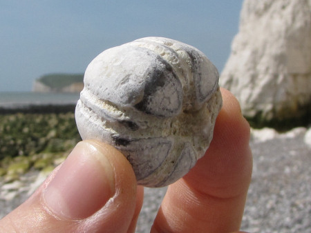 Fossil Conulus echinoid from Seven Sisters