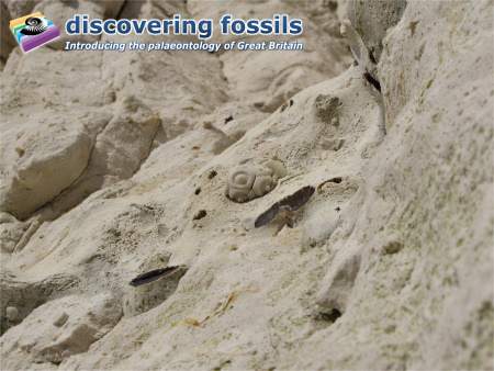 Temnocidaris echinoid at Seaford Head wallpaper