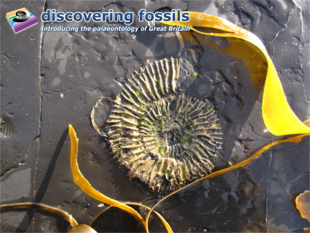 Fossil ammonite at Kimmeridge wallpaper