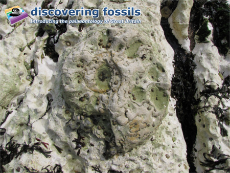 Fossil Parapuzosia ammonite at Peacehaven wallpaper