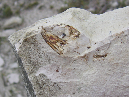 Chalk fossil fish