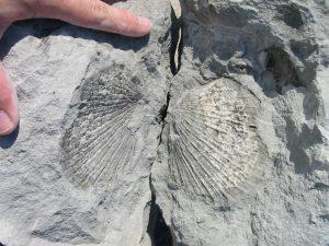 Beachy Head fossil bivalve