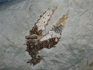 Beachy Head fossil lobster