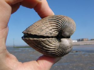 Bracklesham Bay Venericor fossil