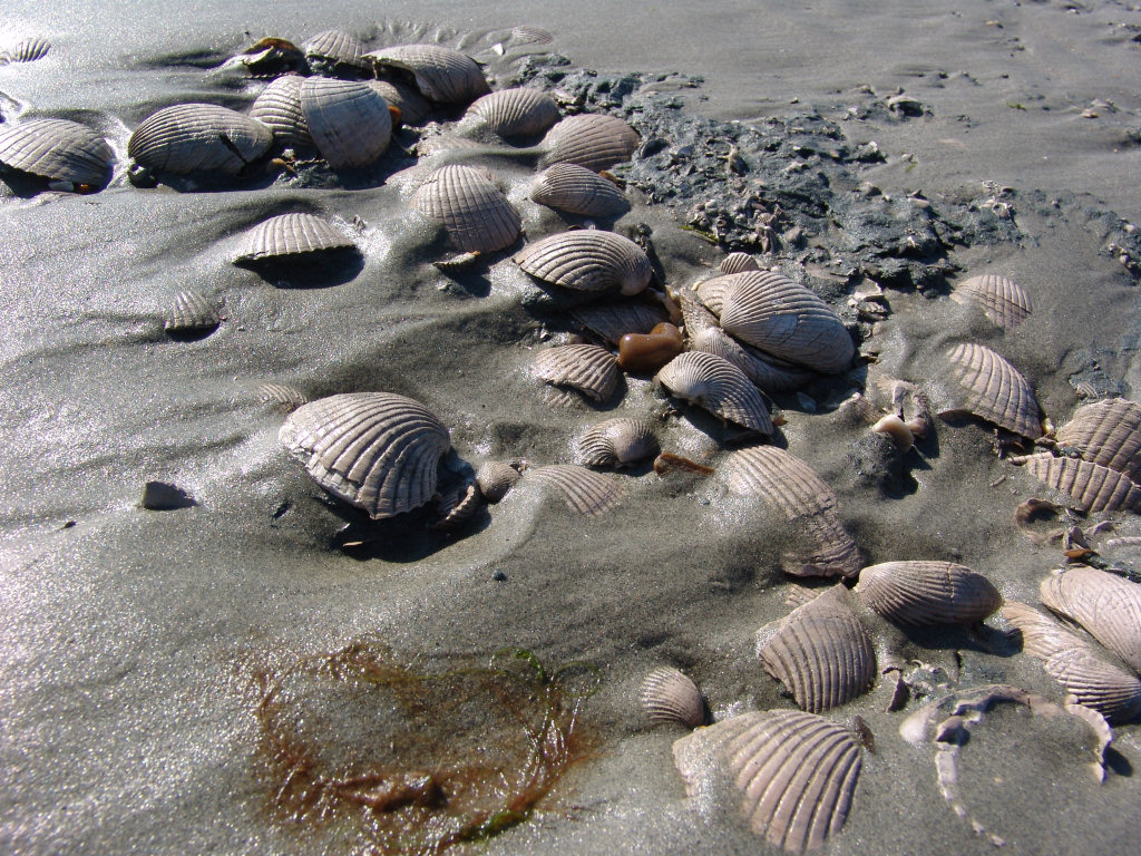 Bracklesham Bay Venericor fossil bivalve
