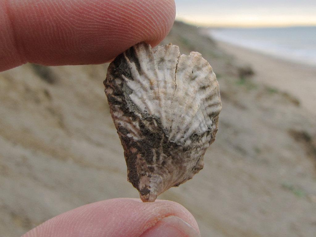 Barton on Sea Cubitostrea