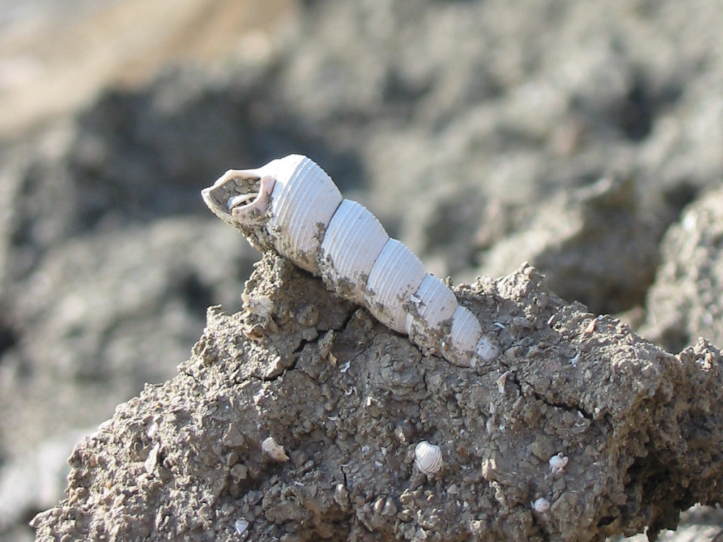 Barton on Sea fossil gastropod