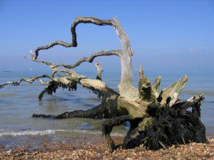 Bouldnor fallen tree
