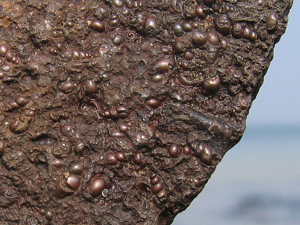 Bouldnor fossil gastropod close-up