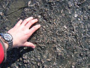 Bracklesham Bay Turritella gastropods